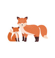 fox with cub or pup isolated on white background vector image