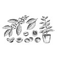 set coffee beans and plants vector image