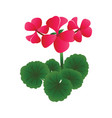bright pink geranium flowers with green leafs on vector image vector image
