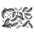 hand sketched coffee plants beans leaves and vector image