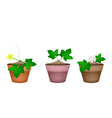 Fresh Green Marrow Plants in Ceramic Flower Pots vector image vector image