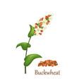 buckwheat grass cereal crops vector image vector image