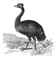 Emu vintage engraving vector image vector image