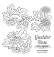 guelder rose plant set on white background vector image vector image
