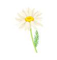 white flower daisy or bellis perennis plant