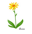 drawing plant of arnica vector image vector image