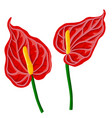 drawing anthurium flowers vector image vector image
