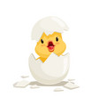 funny yellow newborn chicken in broken egg shell vector image vector image