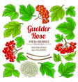 guelder rose elements set on white background vector image vector image