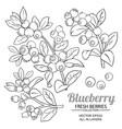 blueberry plant set on white background vector image vector image