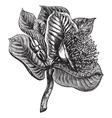 Mottlecah vintage engraving vector image vector image