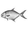 common pompano vintage vector image vector image