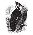 pilated woodpecker vintage vector image vector image