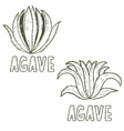 Hand drawn template of agave vector image