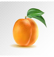 ripe orange apricot on transparent vector image vector image