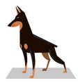 doberman in a classic position vector image