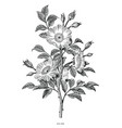 wild rose hand drawing black and white vintage vector image vector image