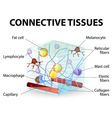 connective tissue vector image vector image