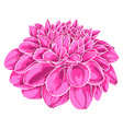 beautiful pink dahlia isolated on white vector image
