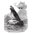 crested auk vintage vector image vector image