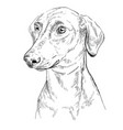 german pinscher hand drawing portrait vector image vector image