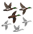 mallard duck sketch wild bird icon vector image