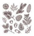 sketch fir branches acorns and pine cones vector image