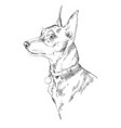miniature pinscher hand drawing portrait vector image vector image