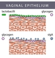 Vaginal Epithelium with Glycogen vector image vector image