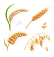 wheat barley rice and oats ears set vector image