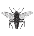 Elm Sawfly vintage engraving vector image vector image
