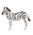 zebra isolated on white background graphics vector image vector image