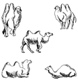 Camels A sketch by hand Pencil drawing vector image vector image