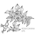 hand drawn rosa canina flower vector image