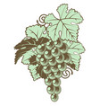 bunch of grapes on vine vector image vector image