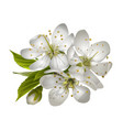 beautiful tender cherry flowers vector image vector image