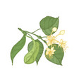 natural detailed drawing of linden sprig with vector image vector image