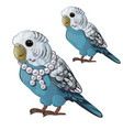 Wavy blue parrot or budgerigar isolated on white
