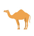 cartoon camel in flat style on white background vector image vector image
