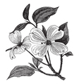 Flowering Dogwood vintage engraving vector image vector image