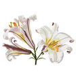 realistic lily flower blossom vector image vector image