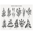 mint family plants hand sketched aromatic and med