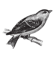 Wild Canary vintage engraving vector image vector image