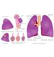 Structure of the human lungs vector image