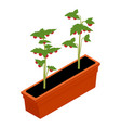 fresh cherry tomato seedling vector image vector image