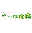 zucchini plant growth from seed sprout flowering vector image