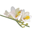 branch of freesia on a white background vector image vector image
