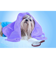Shih tzu dog after washing vector image