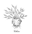 hand drawn of fresh celeriac root with leaves vector image vector image