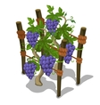 Planting and cultivation of grape vector image vector image